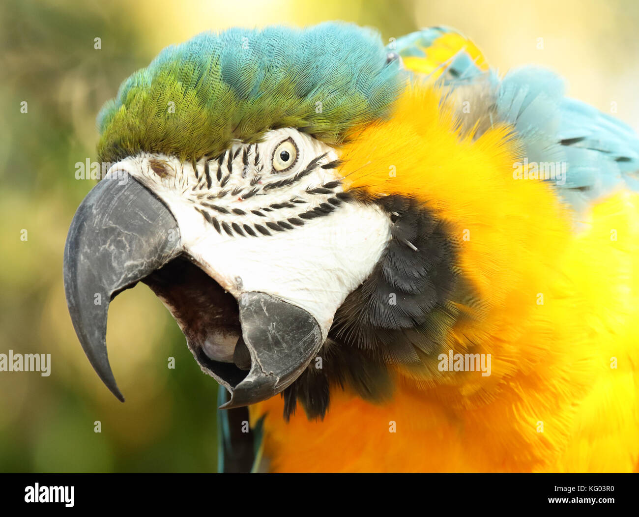 A Macaw calling loudly. - Stock Image