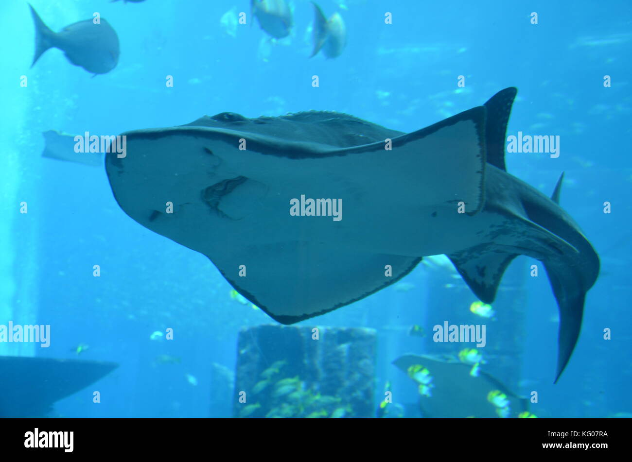 Large stingray in an aquarium in Atlantis the Palm Dubai. - Stock Image