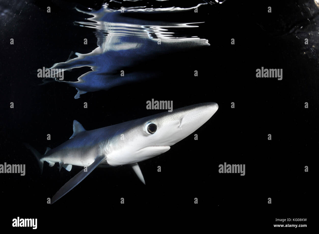 Blue shark at night Stock Photo