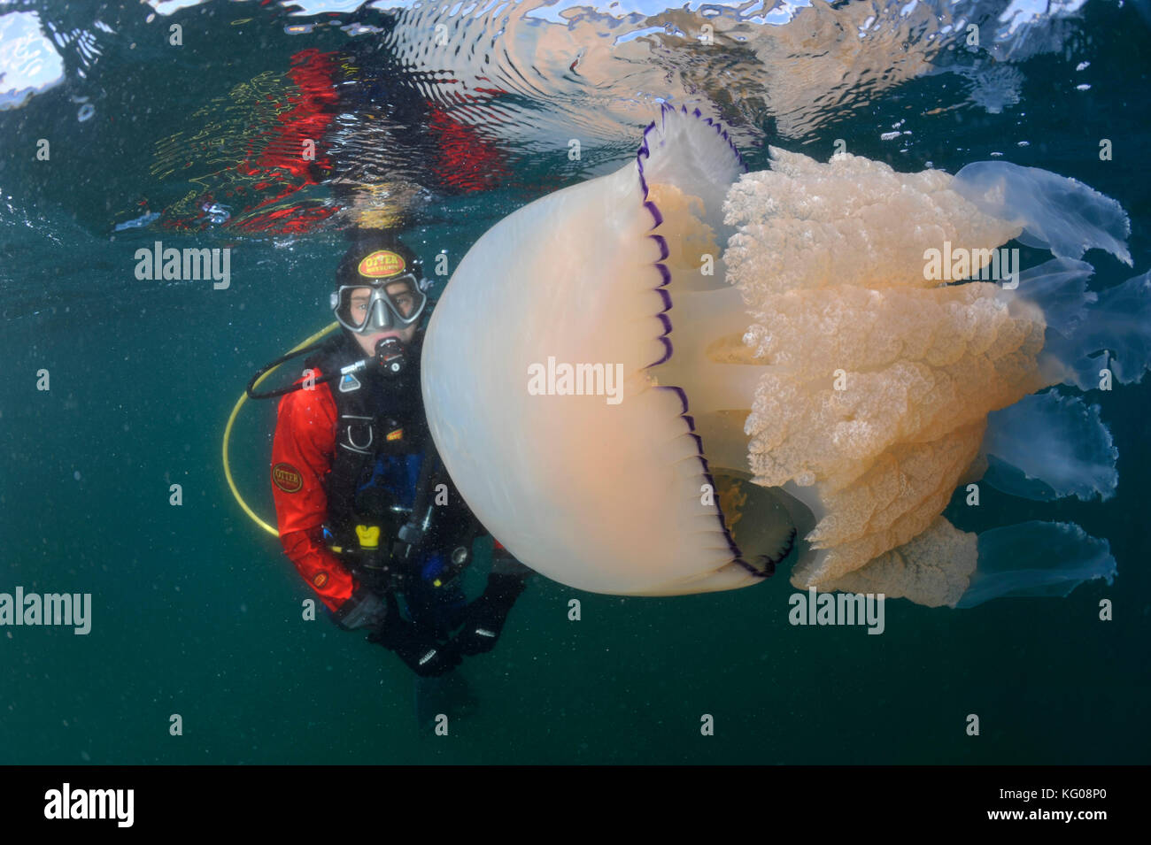 Diver with barrel jellyfish - Stock Image