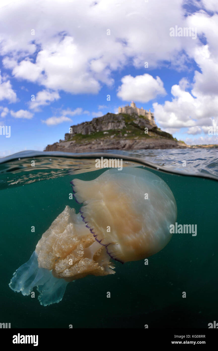 Barrel Jellyfish at St Michael's Mount - Stock Image