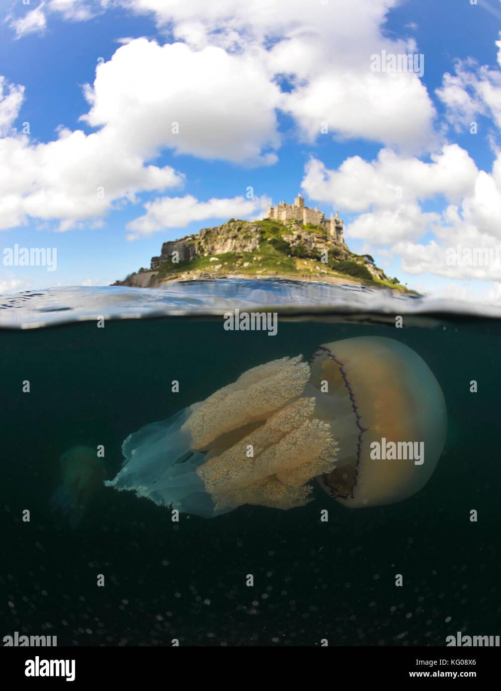 Barrel Jellyfish - Stock Image