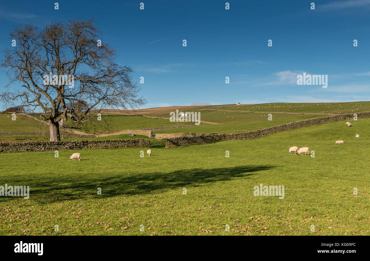 Teesdale landscape, stone walls, white barns and meadows with sheep grazing on a fine autumn day at Bowlees November - Stock Image