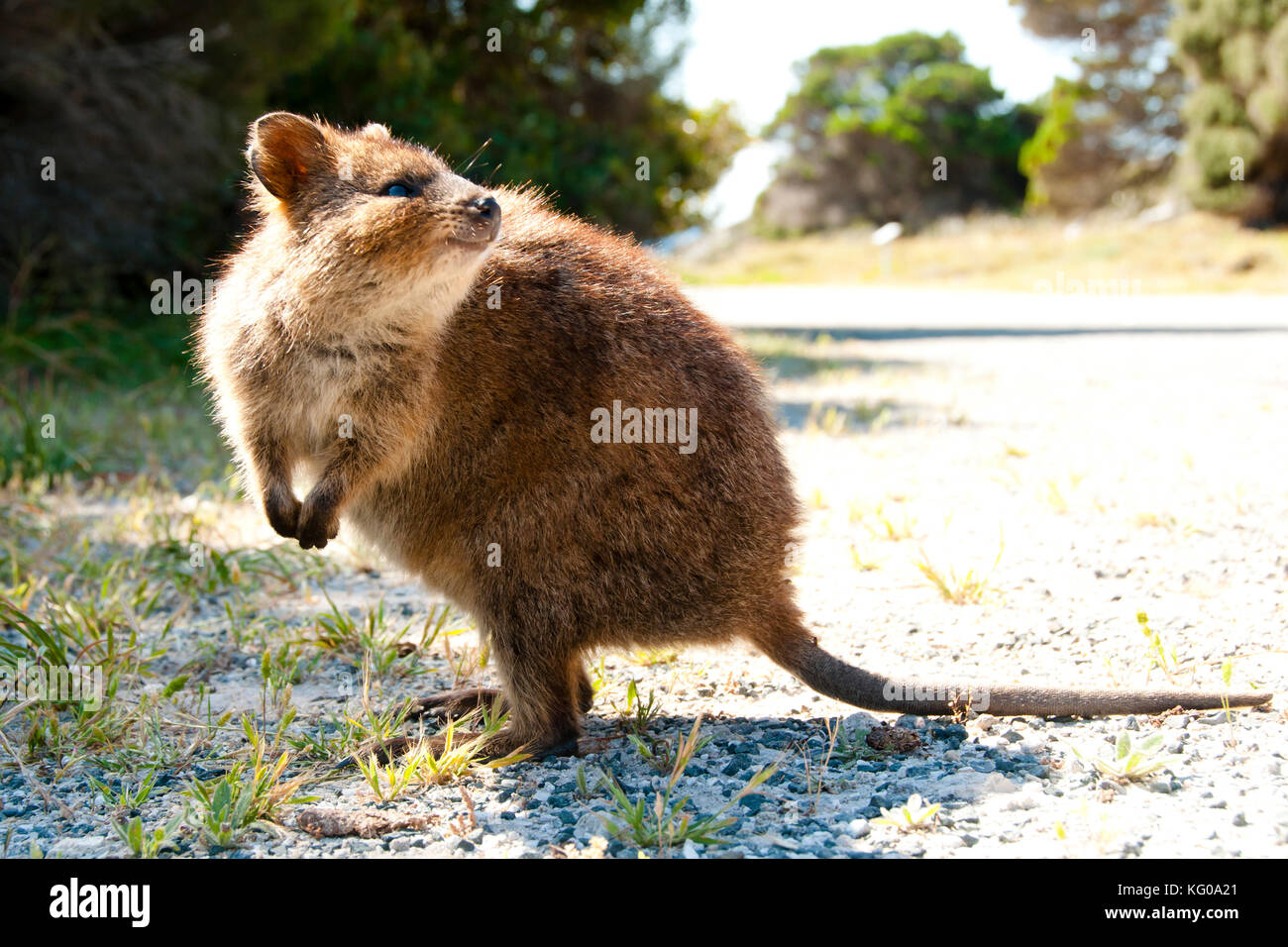 Quokka High Resolution Stock Photography and Images - Alamy