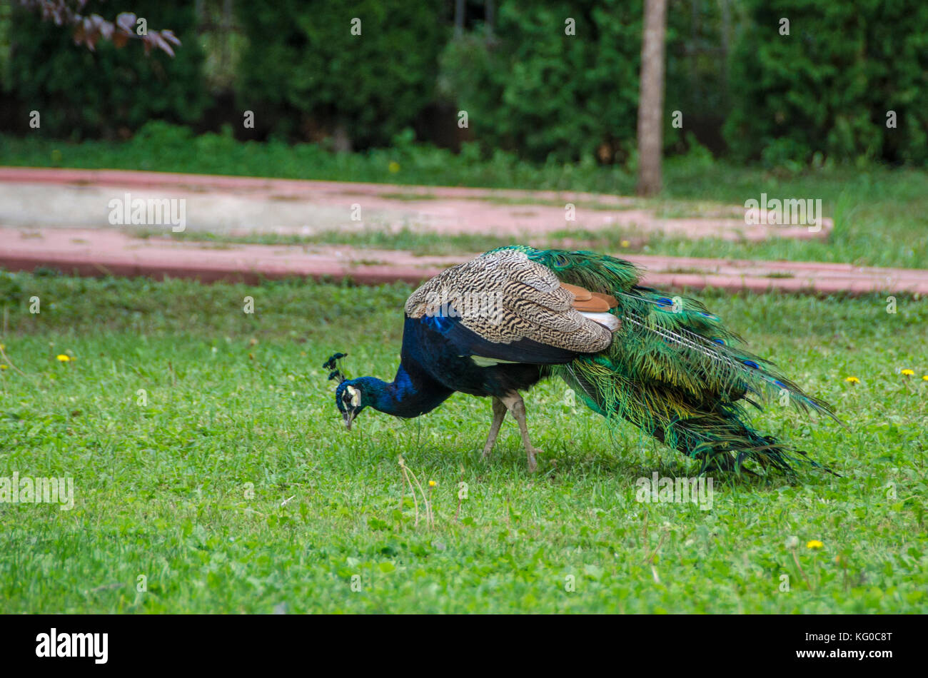 Peacock Bird on green grass - Stock Image