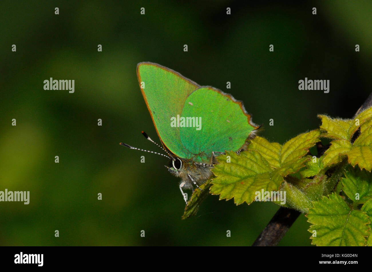 Green Hairstreak butterfly'Callophrys rubi'.Flies May and June. A variety of habitats. Somerset.UK - Stock Image