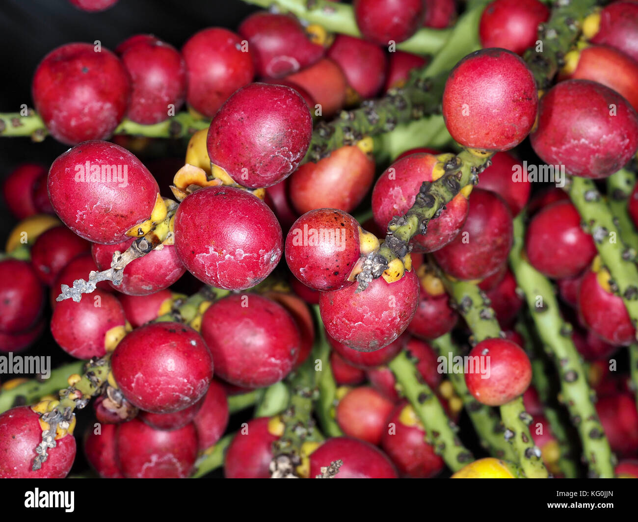 Dwarf sugar palm (Arenga engleri) fruits (known to cause a severe allergic reaction) close-up Stock Photo