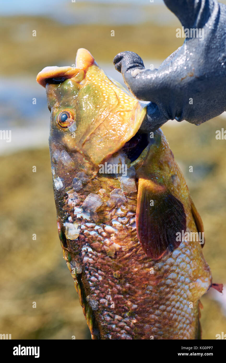 A freshly caught fish with scales. - Stock Image
