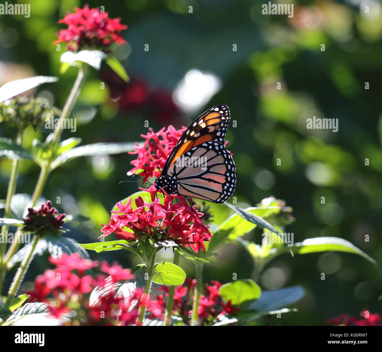 Butterfly flower scenery stock photos butterfly flower scenery the bright sunshine adds to the natural beauty of this garden as a strikingly colorful monarch izmirmasajfo