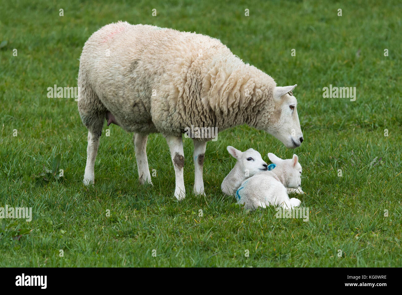 Close-up of 1 sheep (ewe) & 2 lambs in a farm field in springtime. Youngsters are snuggled together on grass, - Stock Image