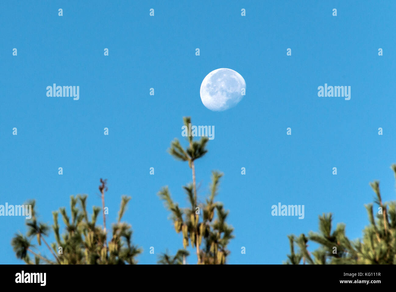The moon with blue sky in day time behind blurred twigs of trees in the foreground - Stock Image