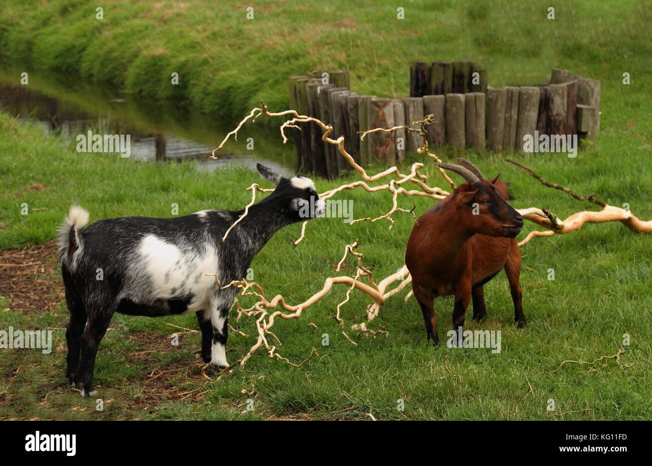 Farm scene in landscape format - two goats graze in a paddock with green grass and a stream - Stock Image