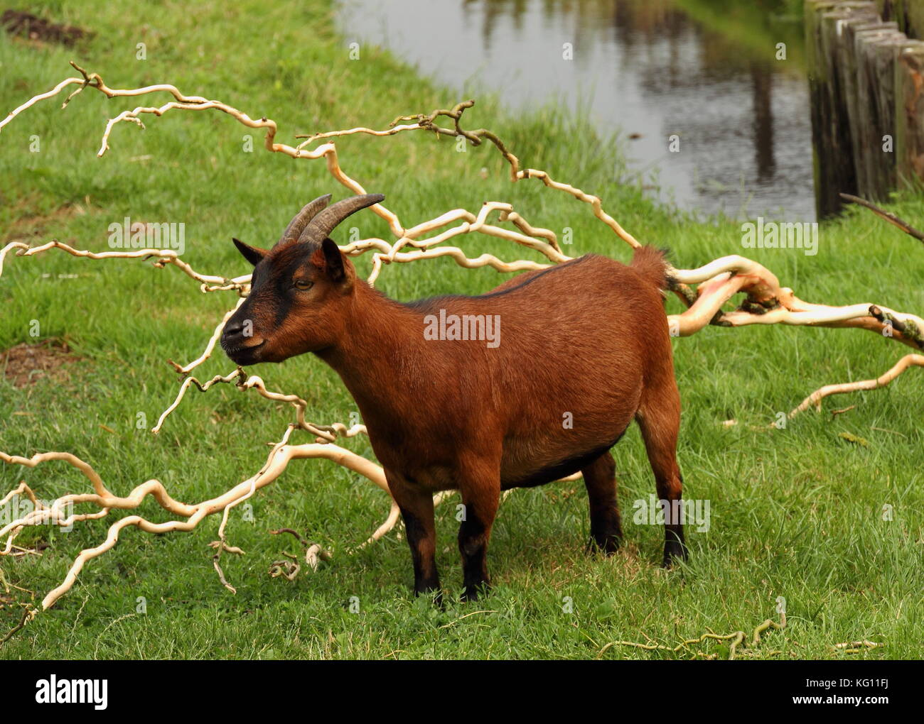 Farm scene in landscape format - a brown goat grazes in a paddock with green grass and a stream - Stock Image