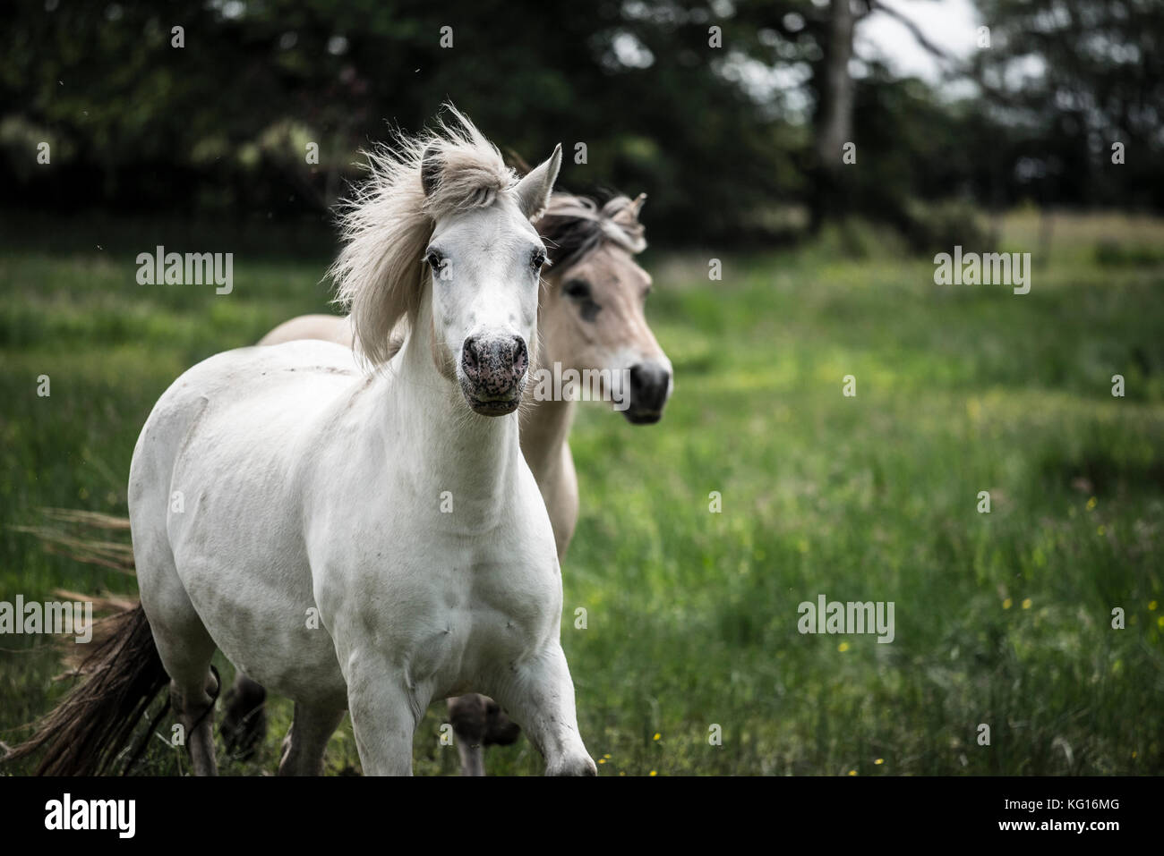 Horses running together at speed in the French countryside Stock Photo