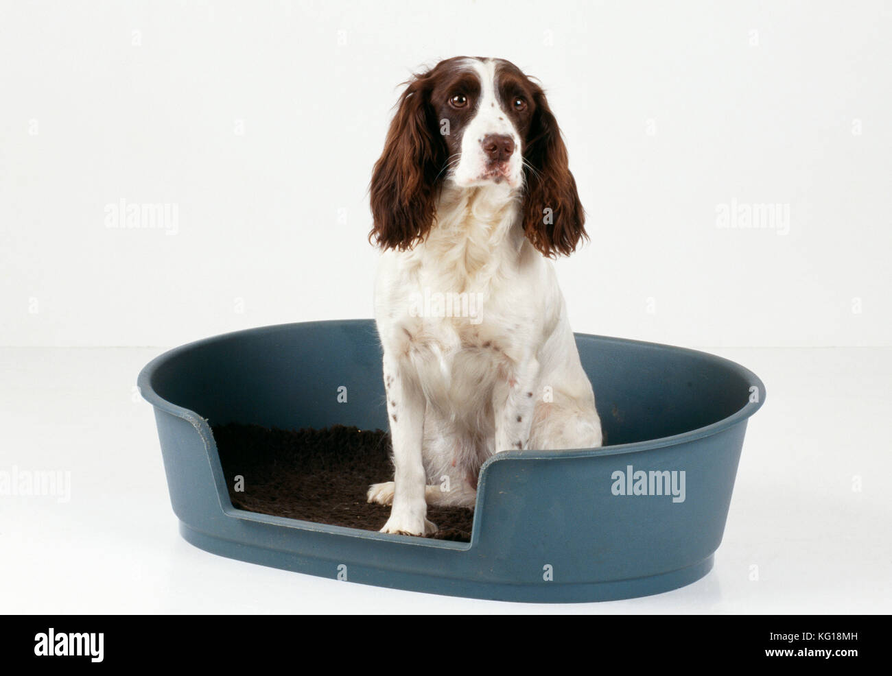 English Springer Spaniel Dog. Sitting in bed. - Stock Image