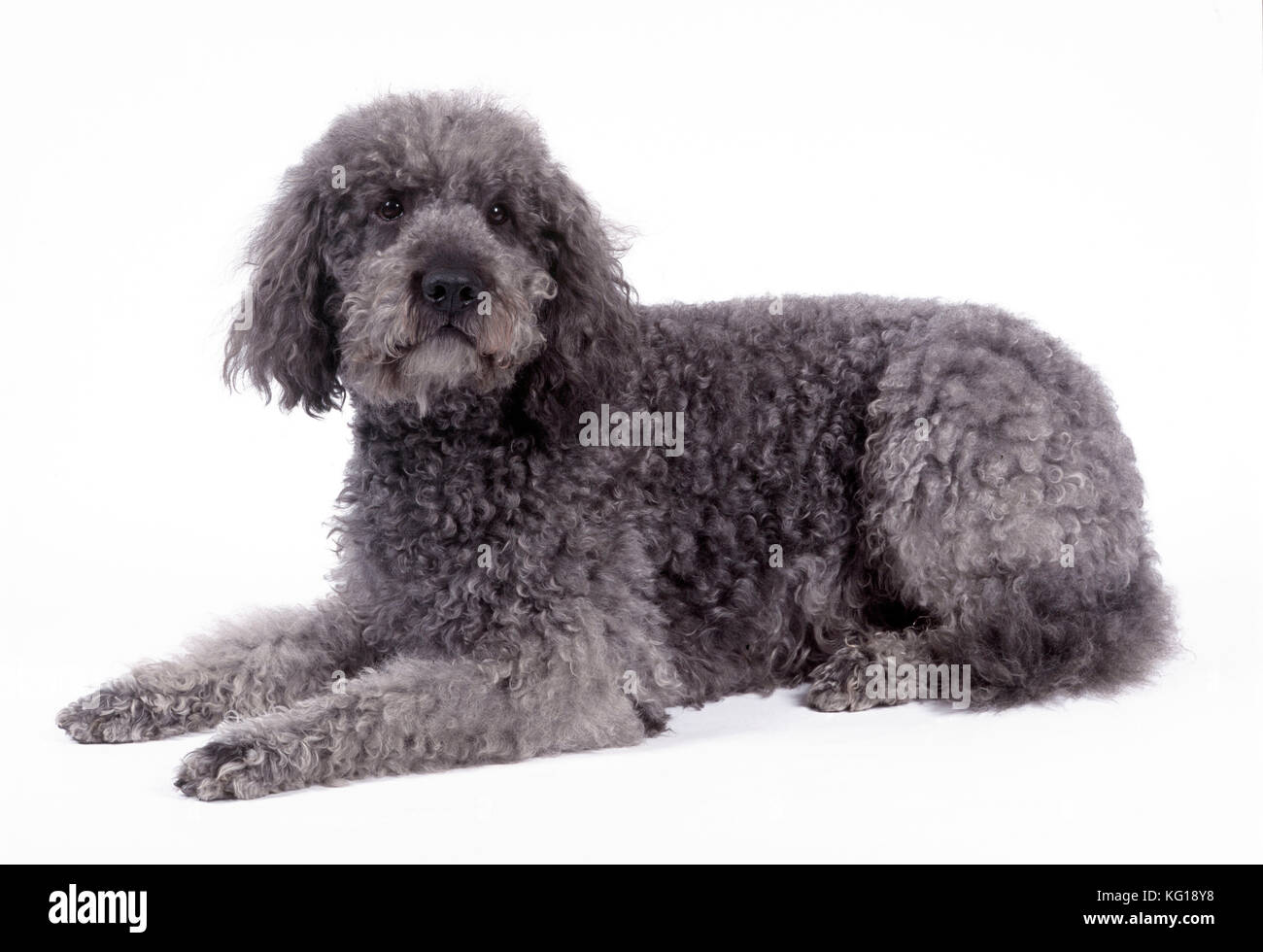 Poodle Cross Stock Photos & Poodle Cross Stock Images - Alamy