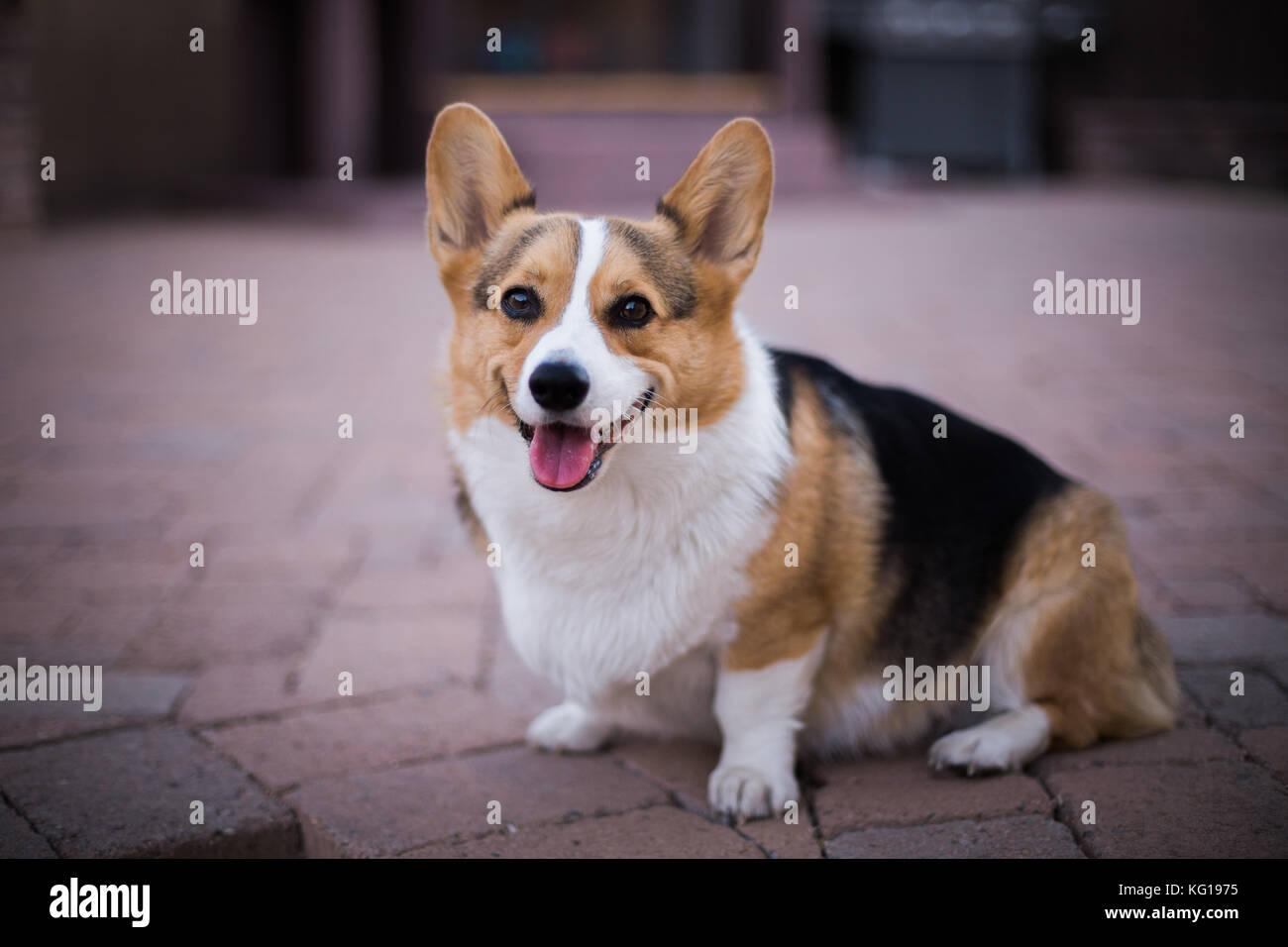 Pembroke Welsh Corgi dog sitting - Stock Image