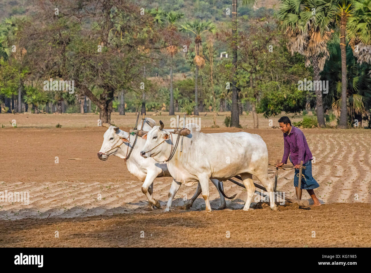Burmese farmer ploughing field with traditional primitive wooden oxen-driven plow / ox-drawn plough in Myanmar / - Stock Image