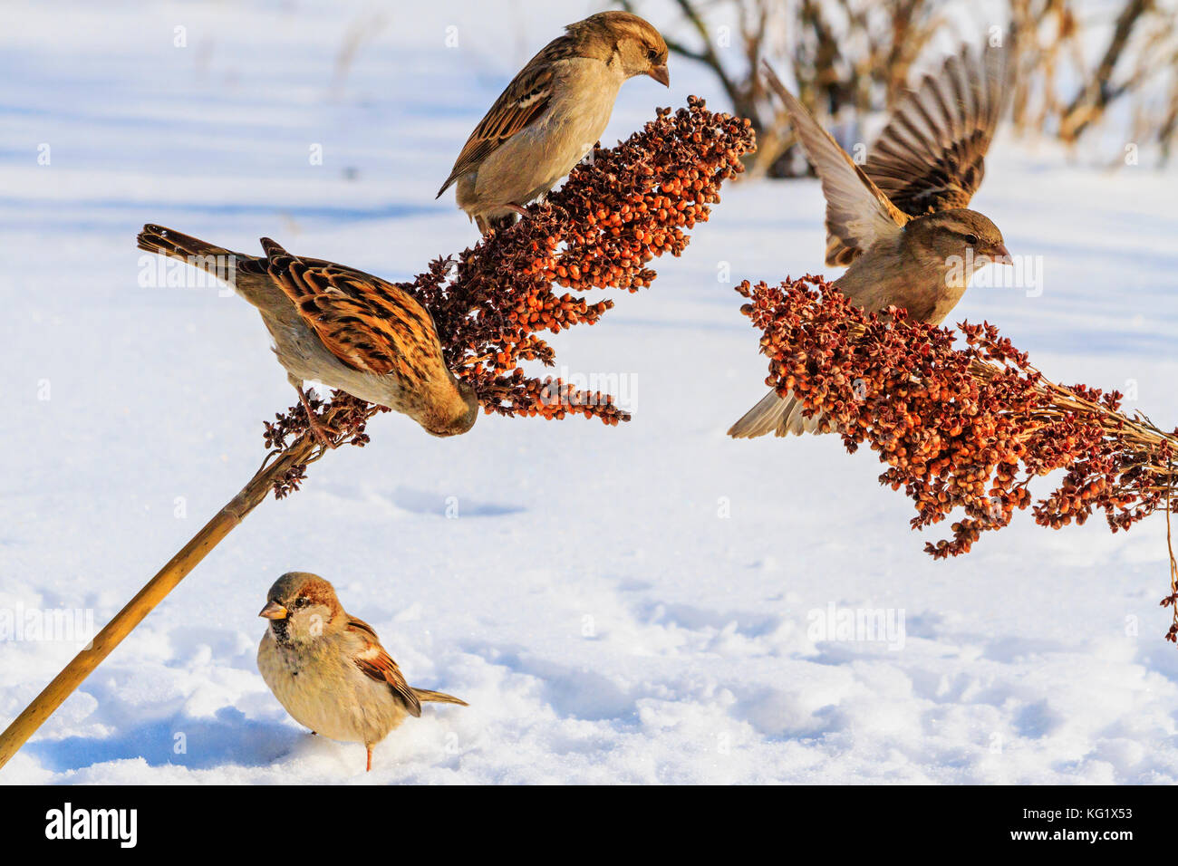 sparrows on a snowy sunny day eat the seeds , wildlife, winter survival, cold and frost - Stock Image