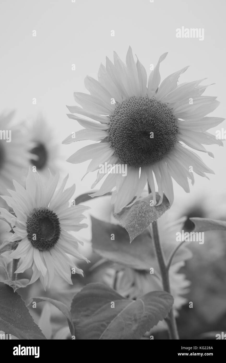 Black and white sunflower head - Stock Image
