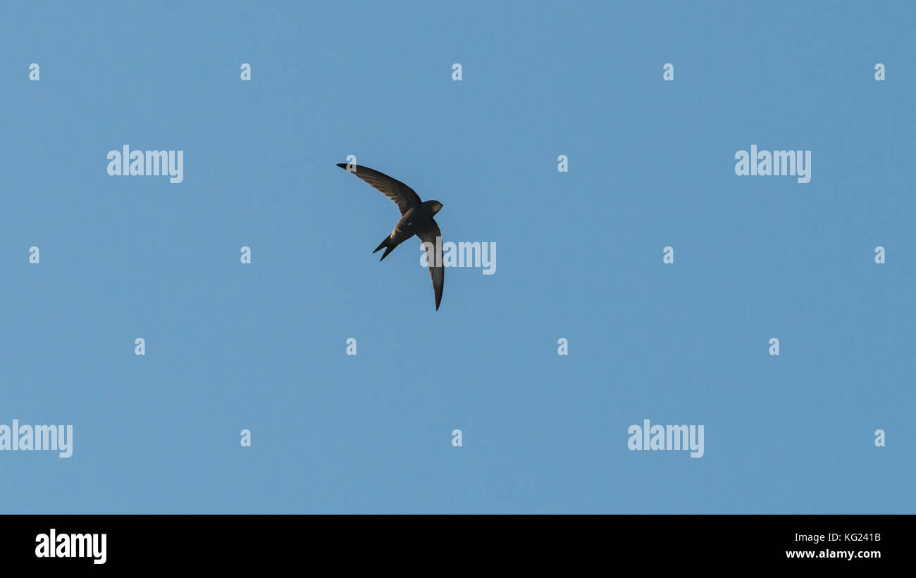 A shot of a swift flying through a blue sky. - Stock Image