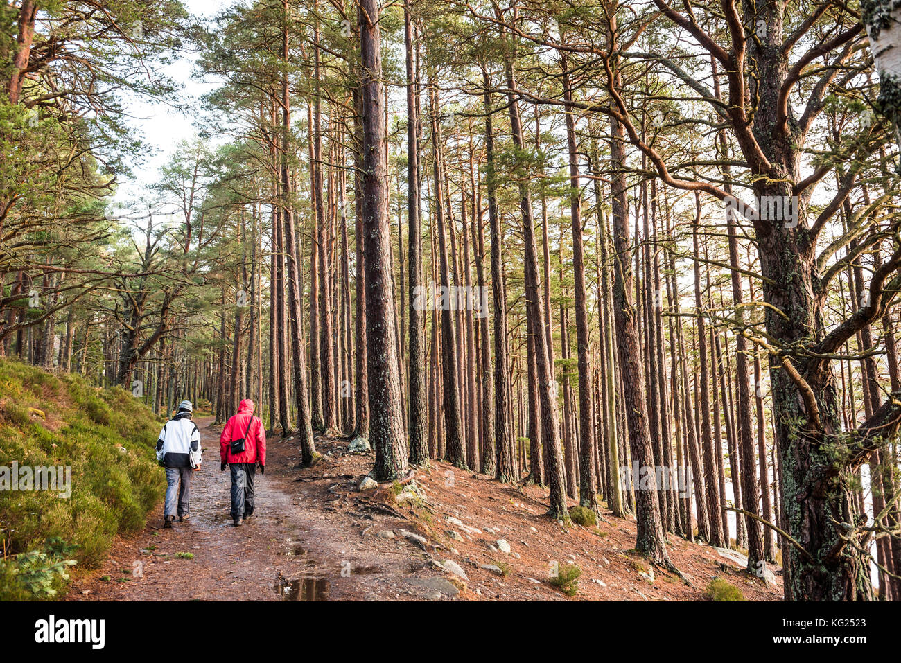 Hiking in Rothiemurchus Forest at Loch an Eilein, Aviemore, Cairngorms National Park, Scotland, United Kingdom, - Stock Image