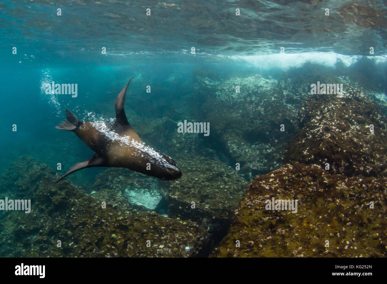 Galapagos fur seal (Arctocephalus galapagoensis) underwater on Santiago Island, Galapagos, Ecuador, South America - Stock Image