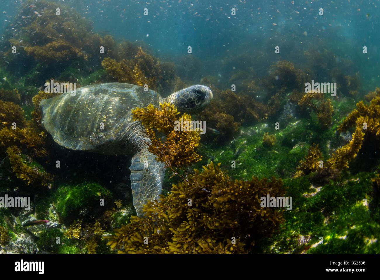 Pacific green sea turtle (Chelonia mydas) underwater on Fernandina Island, Galapagos, Ecuador, South America - Stock Image