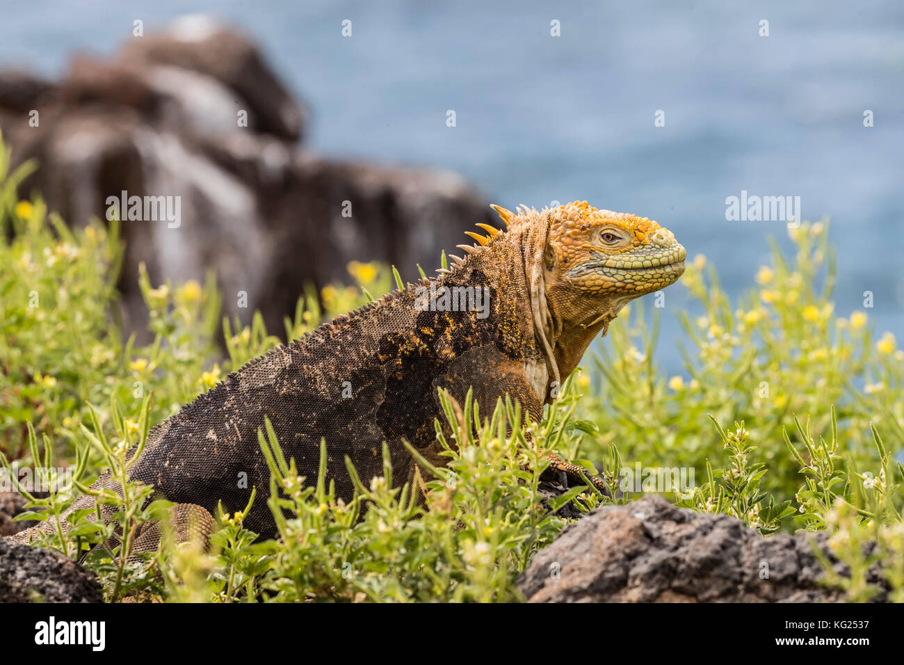 An adult Galapagos land iguana (Conolophus subcristatus), basking on North Seymour Island, Galapagos, Ecuador, South - Stock Image
