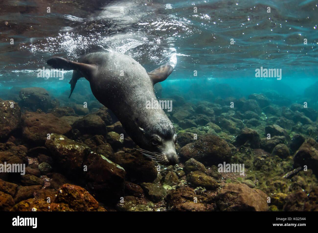 Bull Galapagos sea lion (Zalophus wollebaeki) underwater at Santiago Island, Galapagos, Ecuador, South America - Stock Image