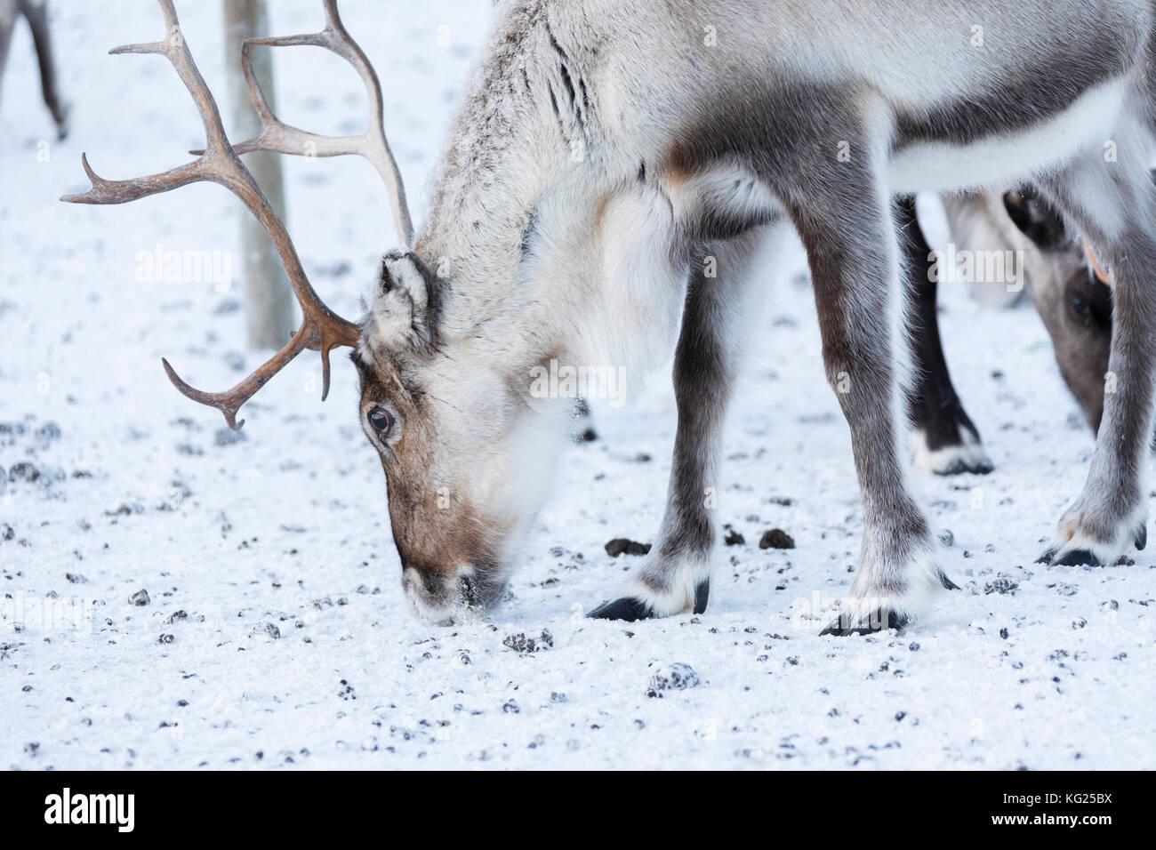 Close up of a reindeer, Abisko, Kiruna Municipality, Norrbotten County, Lapland, Sweden, Scandinavia, Europe - Stock Image