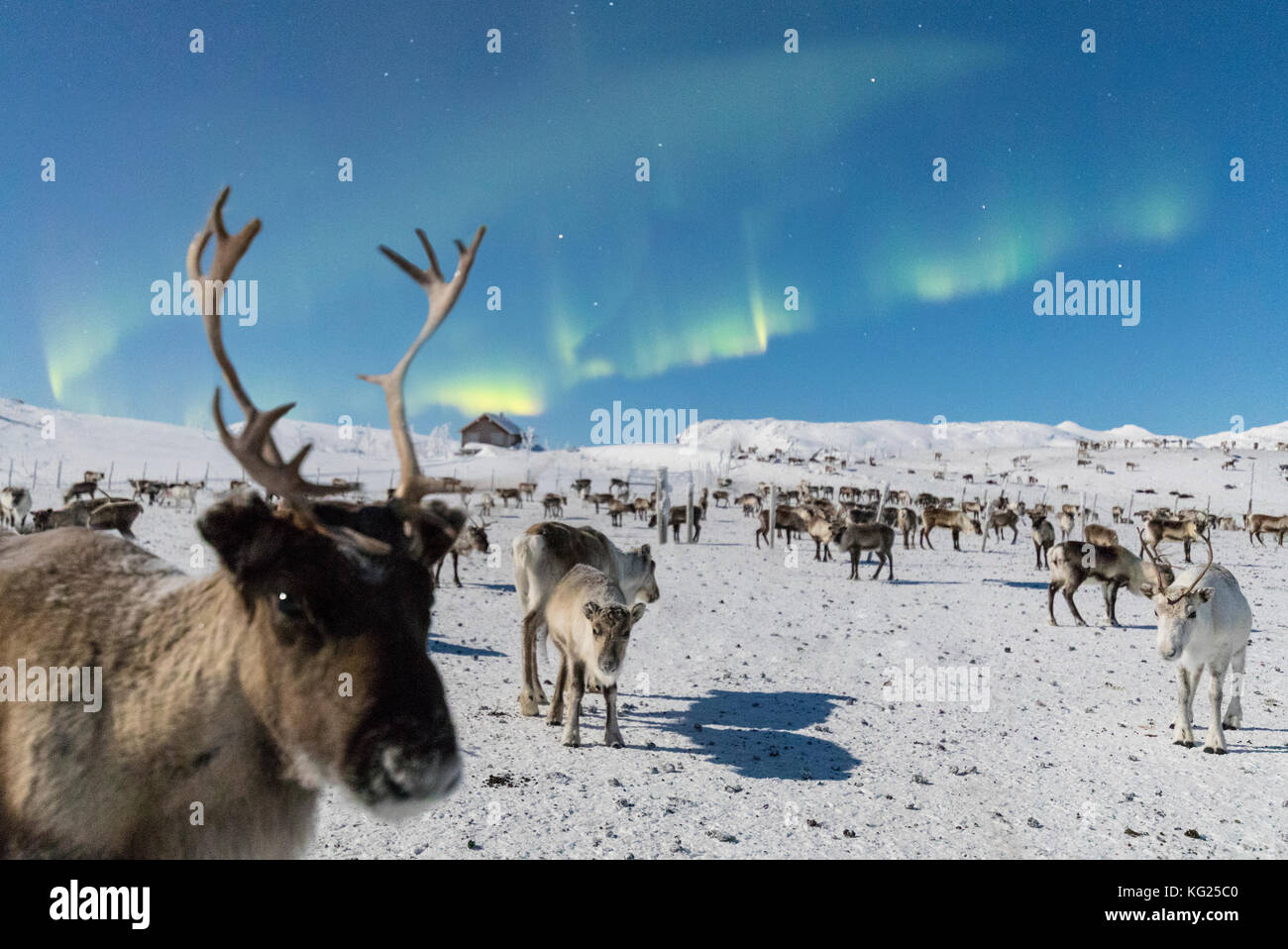 Close up of a reindeer under the Northern Lights (Aurora Borealis), Abisko, Kiruna Municipality, Norrbotten County, - Stock Image