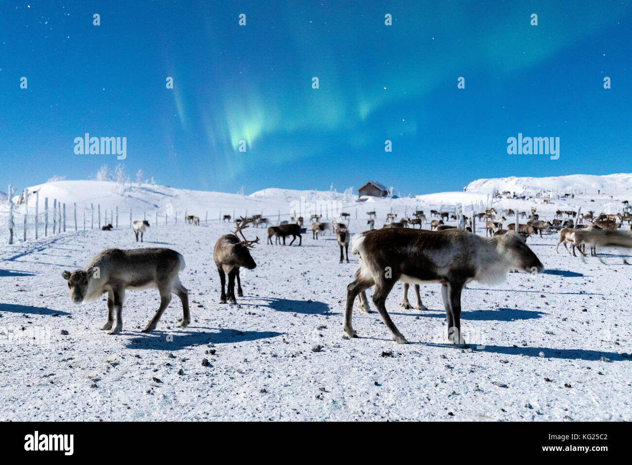 Flock of reindeer under Northern Lights (Aurora Borealis), Abisko, Kiruna Municipality, Norrbotten County, Lapland, - Stock Image