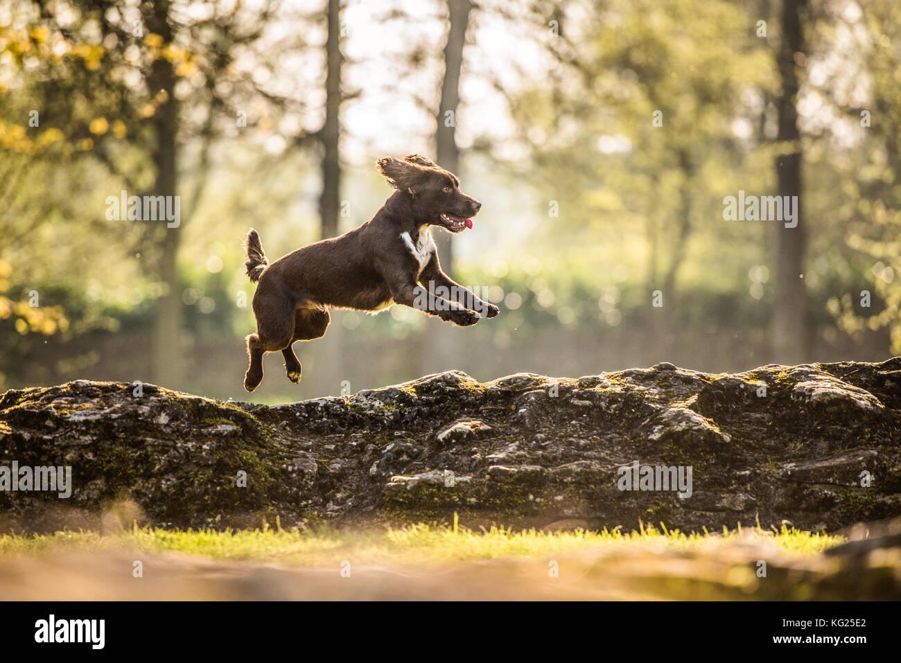 Jumping cocker spaniel, Oxfordshire, England, United Kingdom, Europe - Stock Image