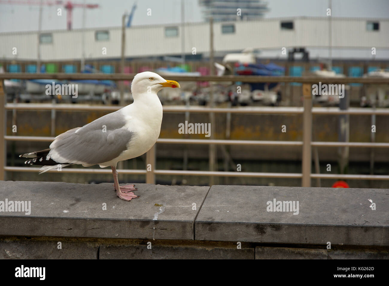 Seagull in urban environment (laridae) - Stock Image