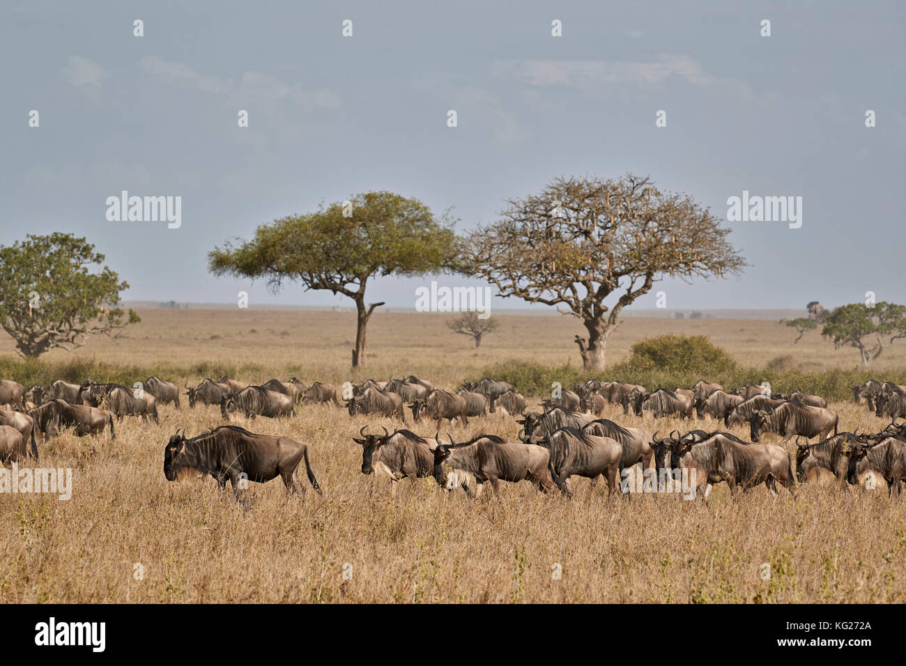 Blue wildebeest (brindled gnu) (Connochaetes taurinus) migration, Serengeti National Park, Tanzania, East Africa, - Stock Image