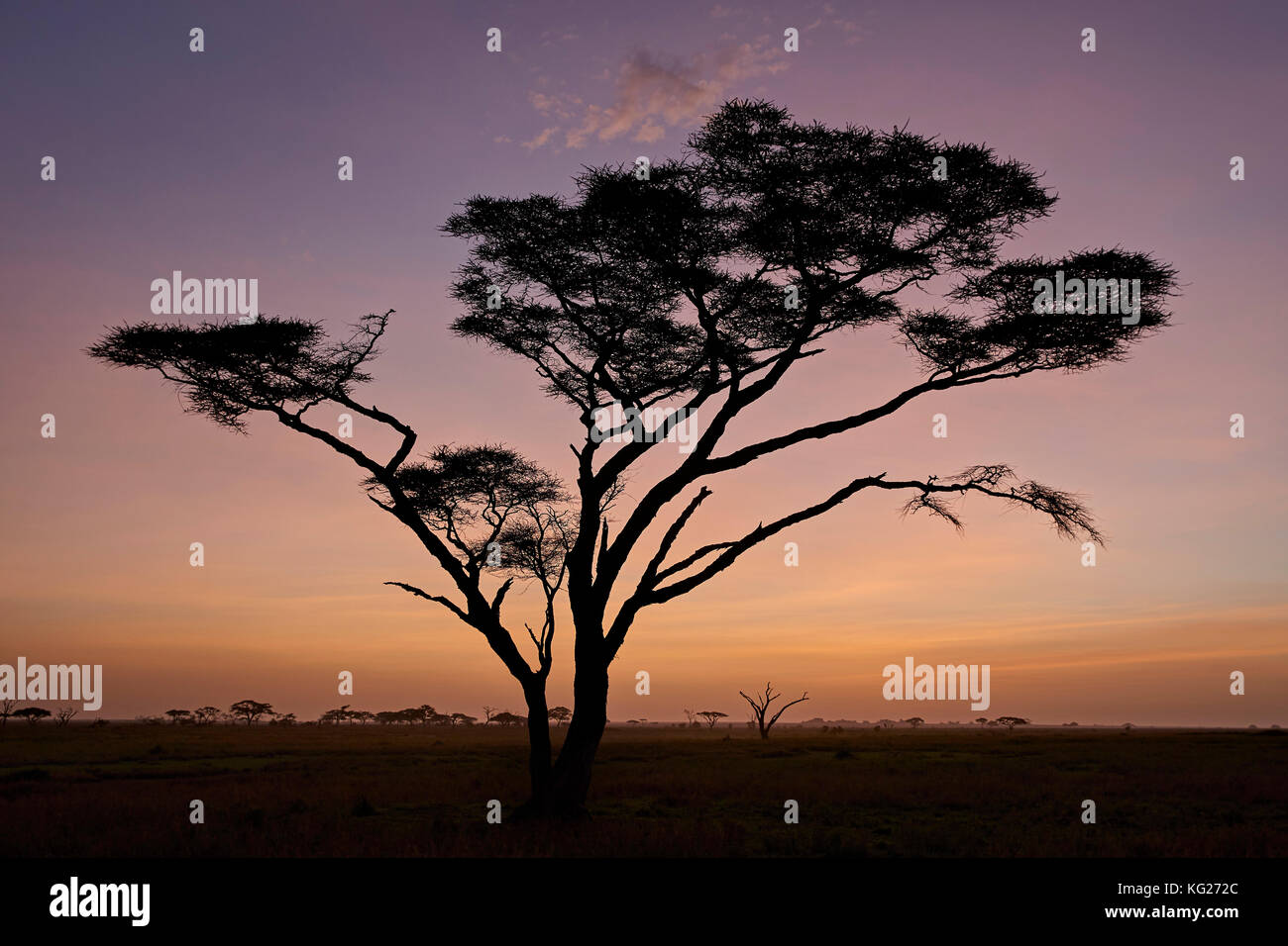 Acacia tree at dawn, Serengeti National Park, Tanzania, East Africa, Africa - Stock Image