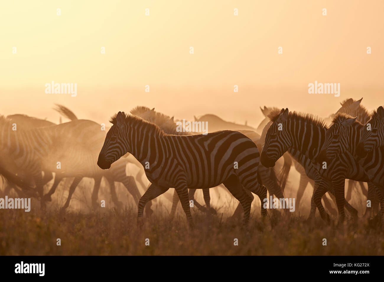 The Migration, common zebra (plains zebra) (Burchell's zebra) (Equus burchelli), Serengeti National Park, Tanzania, - Stock Image