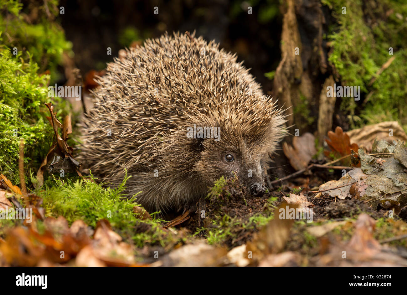 Hedgehog, wild, native, European Hedgehog foraging for food in Autumn leaves. Facing right. Scientific name: Erinaceus Stock Photo