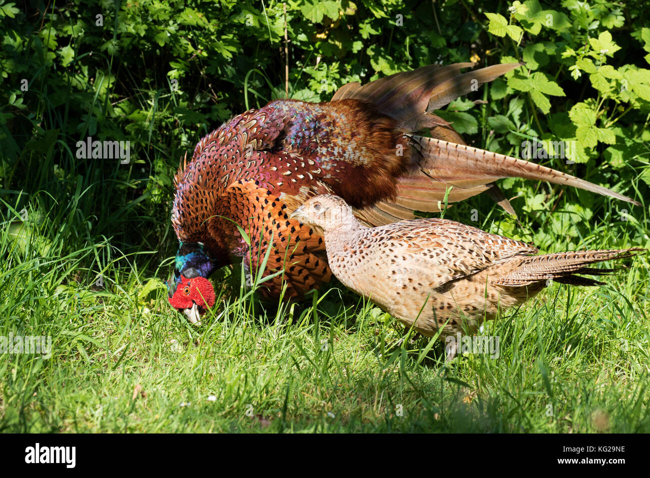 Pheasant, Phasianus colchicus, adult male displaying to female during courtship. Worcestershire, UK. Stock Photo