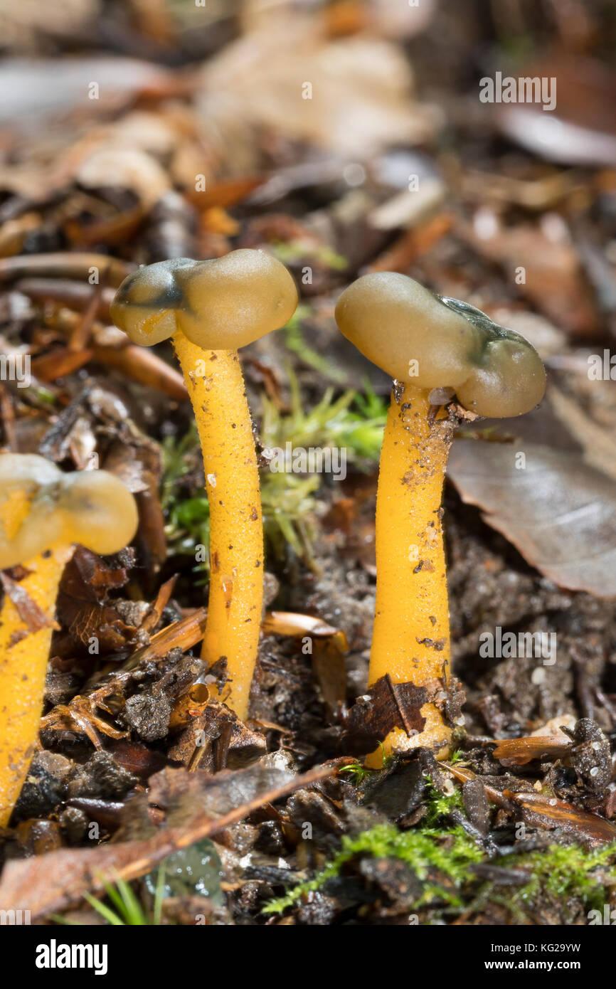 Gemeines Gallertkäppchen, Grüngelbes Gallertkäppchen, Gelbgrünes Gallertkäppchen, Gallatkäppchen, - Stock Image