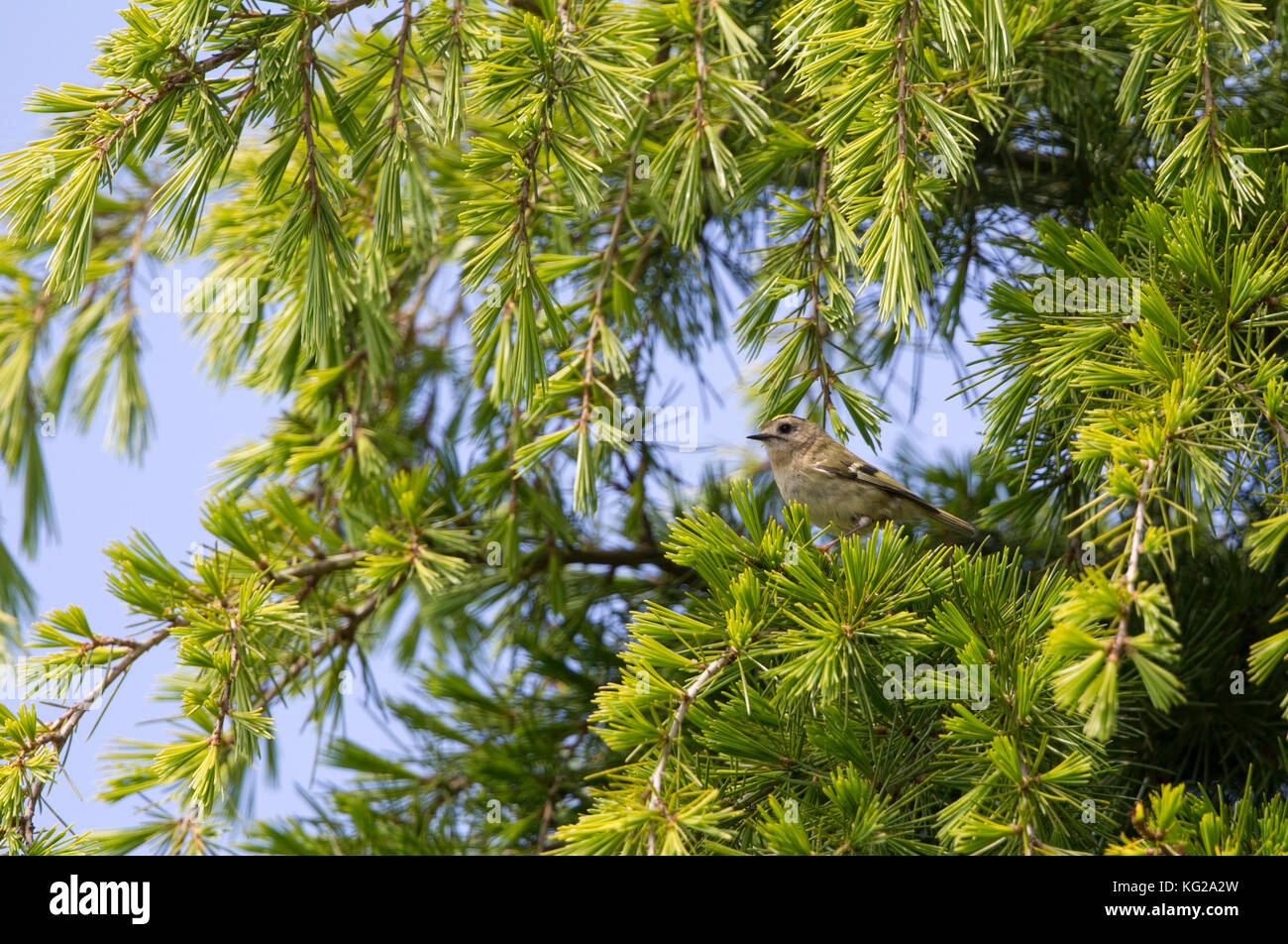 Goldcrest, Regulus regulus, single adult perched in conifer. Worcestershire, UK. - Stock Image