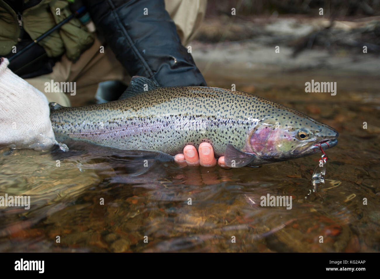 Steelhead caught on a spoon cradled in River - Stock Image