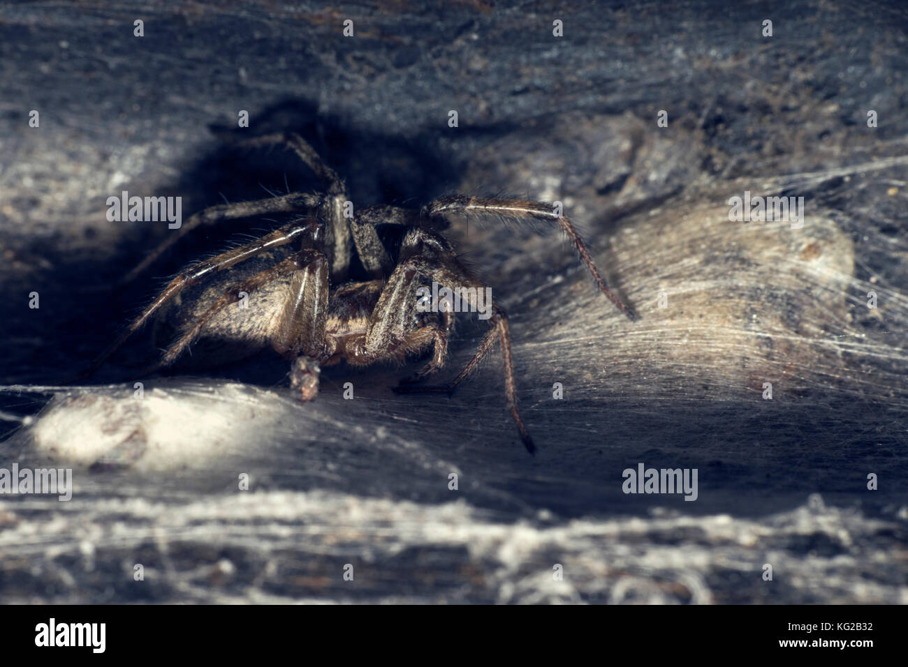 Spider in his hideaway. The Walnut Orb-weaver Spider (Nuctenea umbratica). Dark photo - Stock Image