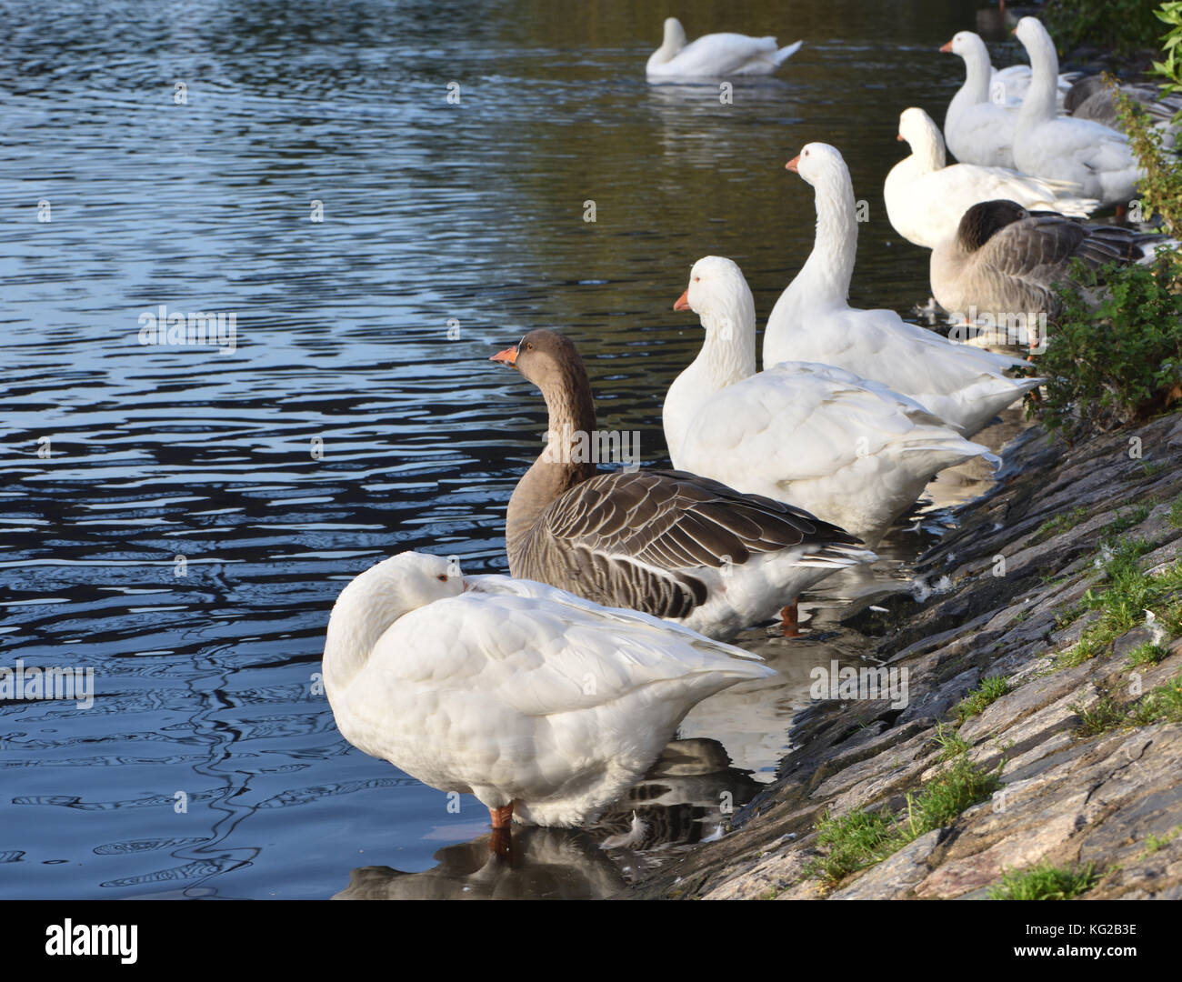 White and brown domestic geese on the bank of the River Exe at The Quay in Exeter. Exeter, Devon, UK. - Stock Image