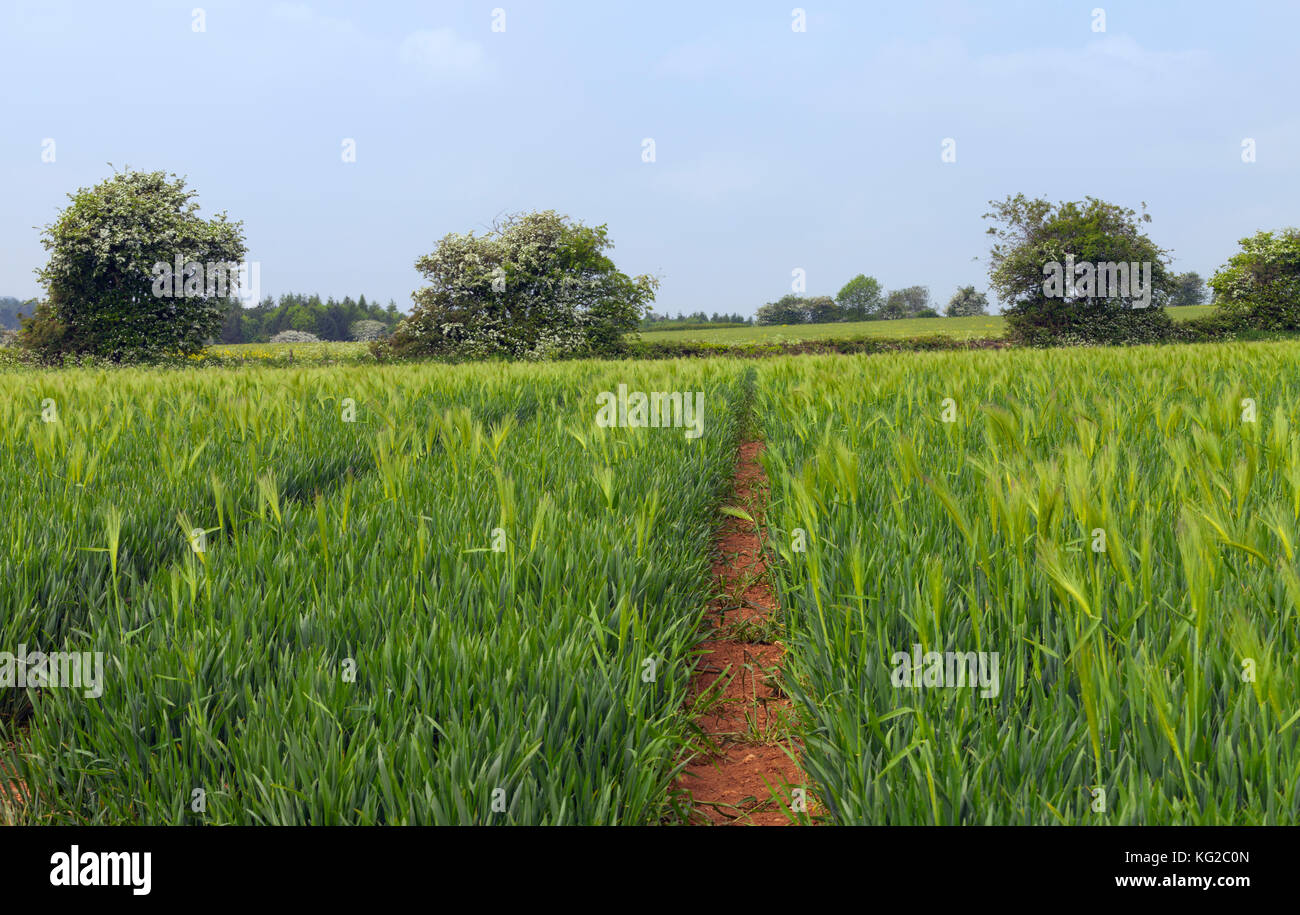 Path through young green rye farm field by a hedgerow lane in an English countryside, on a summer sunny day . - Stock Image