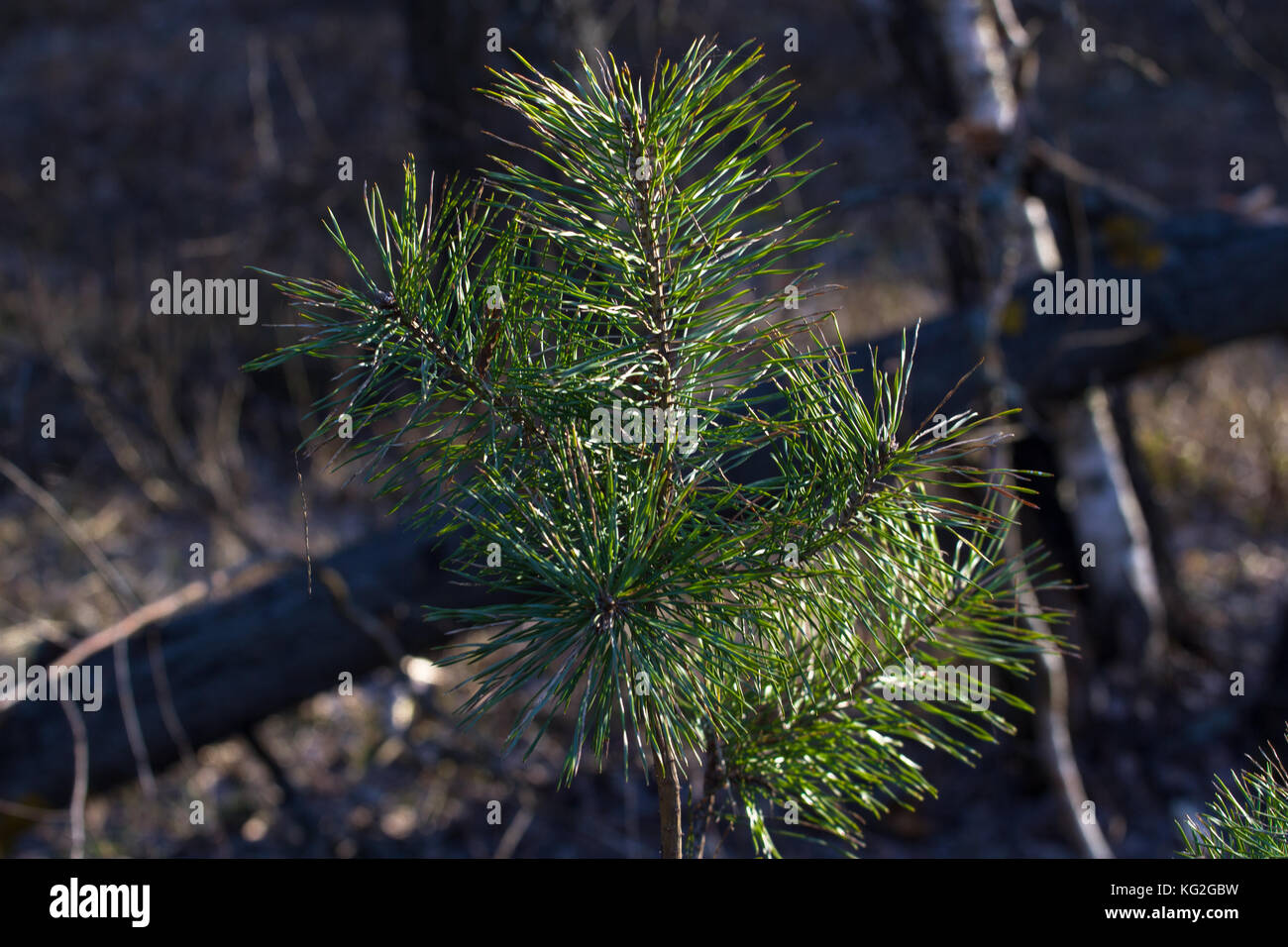 One young pine tree. Fir branches. Spruce background. Coniferous forest. The family of gymnosperms. - Stock Image