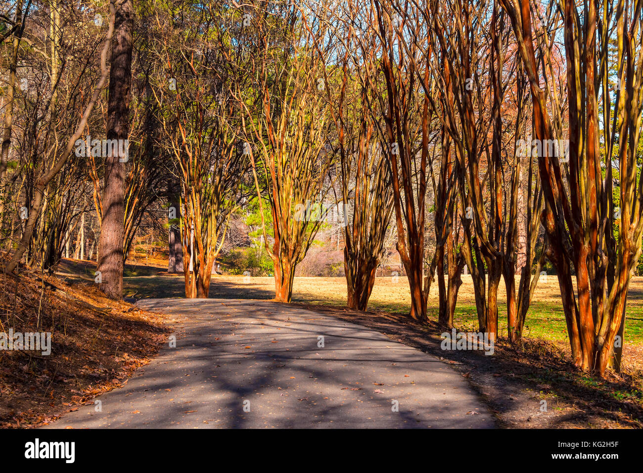 Alley with leopard trees and curved road in Lullwater Park in sunny autumn day, Atlanta, USA Stock Photo