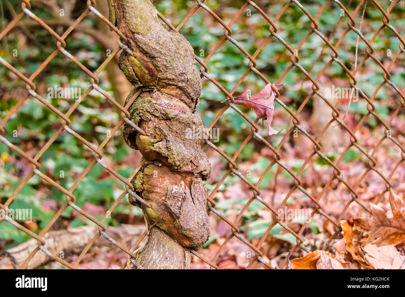 The trunk of the tree spouted through wire grid closeup Stock Photo