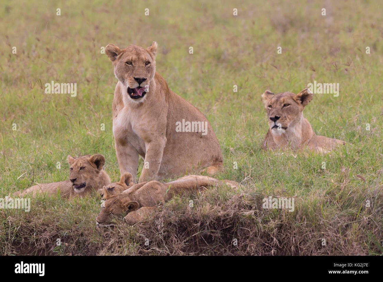 Lioness with her cubs in in Ngorongoro crater consrvation area, Tanzania, Africa. - Stock Image